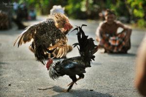 Jenis Ayam Jago Yang Disukai Banyak Orang