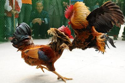 Cara Mudah Menang Sabung Ayam Online