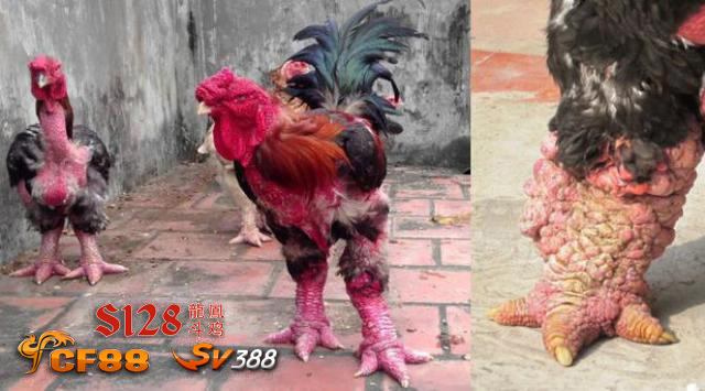 Ayam Kaki Gajah Khas Gong Hoa – Vietnam