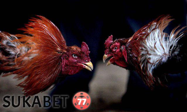 Tips Selalu Menang Dalam Taruhan Sabung Ayam