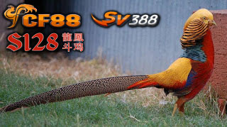 Informasi Tentang Unggas Uniknya Ayam Golden Pheasant