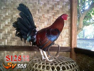 Merawat Ayam Tarung Betet
