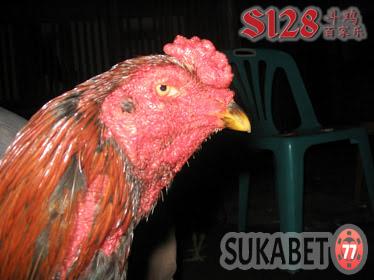 Latihan Insting dan Kaki Pada Ayam Di Malam Hari