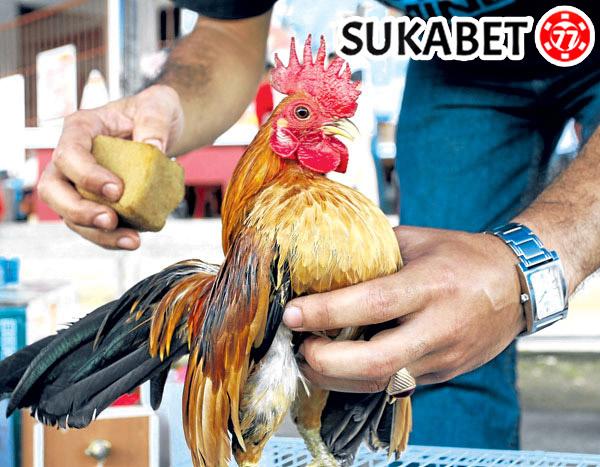 Cara Memandikan Ayam Dengan Baik dan Benar