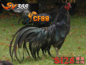 Ciri-Ciri Ayam Sumatra