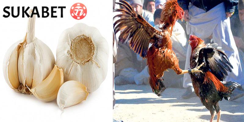 Manfaat Bawang Putih Pada Ayam Aduan