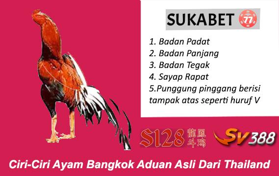 ciri ciri ayam bangkok aduan asli dari thailand bandar sabung ayam