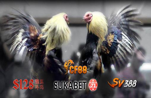 Ciri-Ciri Ayam Bangkok Aduan Super Lompat Pukul