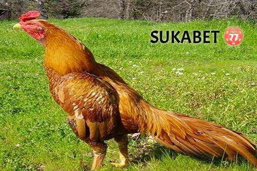 Ciri Dan Kelebihan Ayam Bangkok Aduan Berwarna Emas