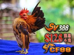 Ciri Khas Ayam Serama Kualitas Bagus