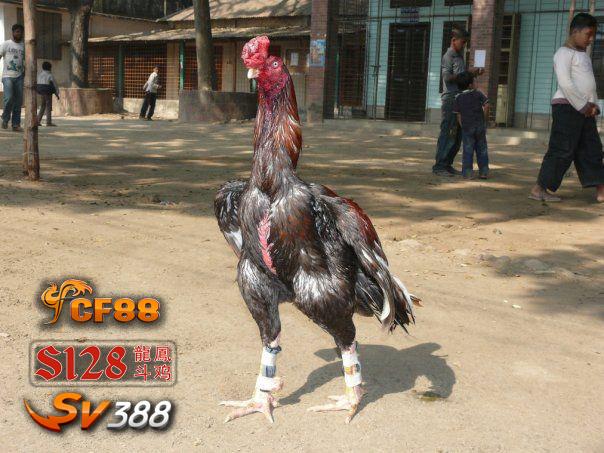 Ayam Aseel India Super