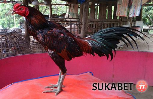 Kualitas Ayam Bangkok Aduan Menurut Bentuk Tulang