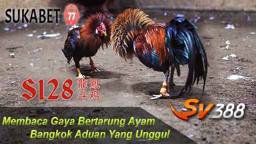 Membaca Gaya Bertarung Ayam Bangkok Aduan Unggul