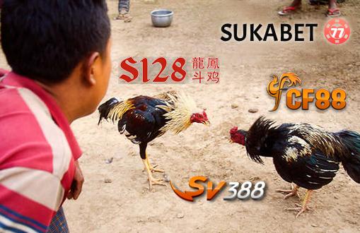 Mengenal 6 Warna Bulu Ayam Bangkok Aduan Yang Berkualitas Saat Bertarung