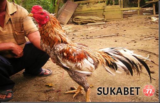Perawatan Ayam Bangkok Aduan Khusus Pada Kulit Dan Bulu