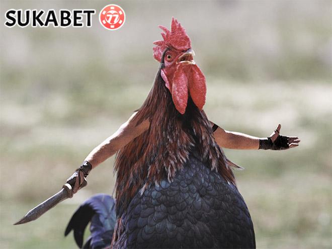 Hal Aneh Tapi Nyata Tentang Ayam Bangkok