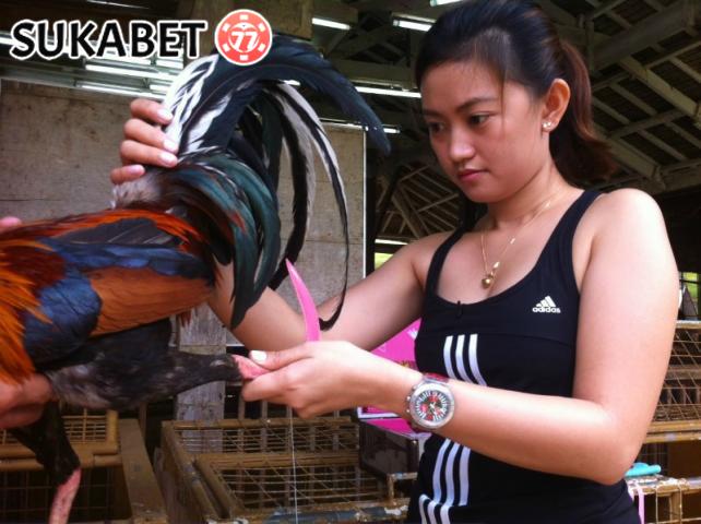 Tips Dalam Melatih Ayam Bangkok Menjadi Kebal