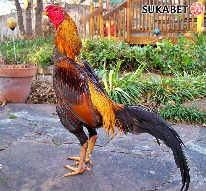Agen Sabung Ayam-Asal Usul Ayam Bangkok