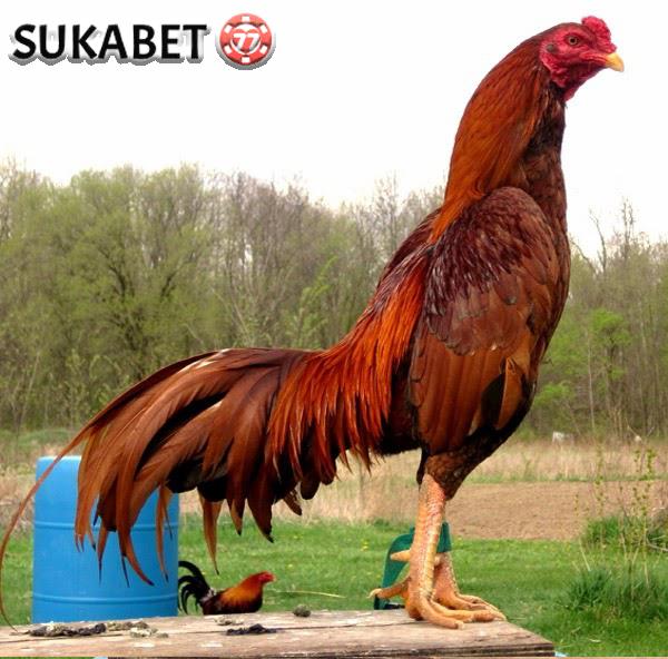 Tiga Cara Dalam Memilih Ayam Bangkok yang Akan Dibeli