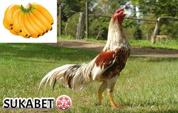 Manfaat Pisang Raja Pada Ayam Aduan