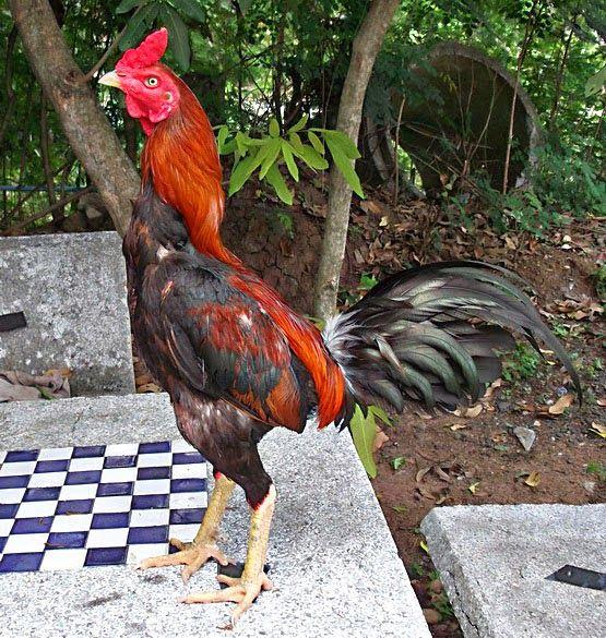 Terungkap, Kenapa Hasil Ayam Bangkok Ada Yang Ukuran Kecil