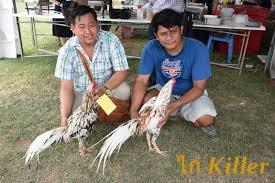 Seekor Ayam Pertarung Pembunuh Dari Thailand