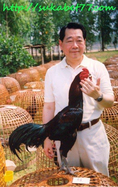 Ayam Bangkok Sang Juara Milik Milyuner Mania Adu Ayam Asal Thailand