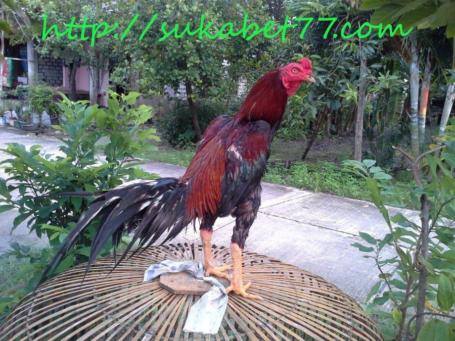 Harga Ayam Bangkok  Asli Yang Berkualitas