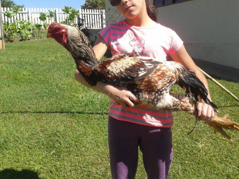 Jenis Keturunan Ayam Shamo