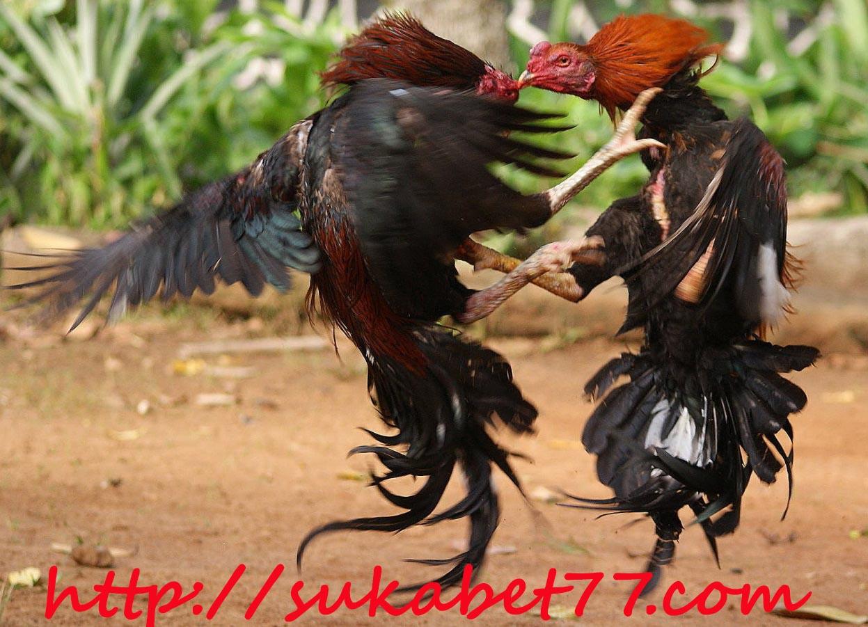 Cara dan Tips Merawat Ayam Bangkok Sehabis Berlaga