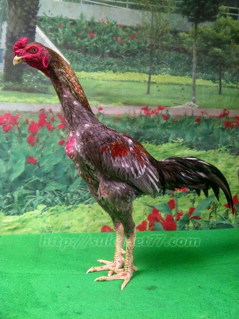 Sejarah Pertarung Ayam Panus Dari Thailand