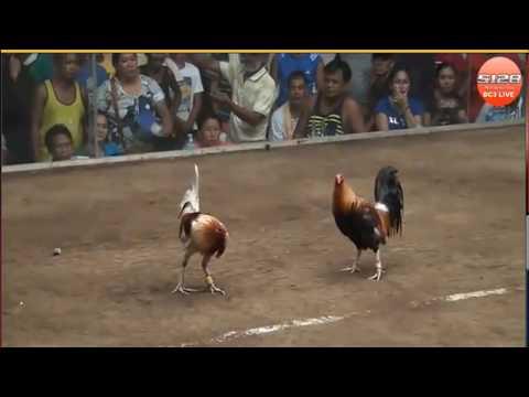 Hanya Bermain Sabung Ayam Anda Bisa Mendapatkan Hadiah Uang Tunai Jutaan Rupiah
