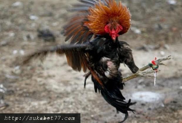 Ayam Pembunuh Manusia Di Fillipina