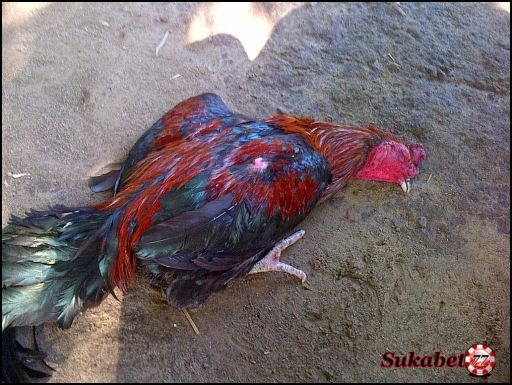 Penyebab Dan Cara Mengatasi Pukulan Jiling Pada Ayam