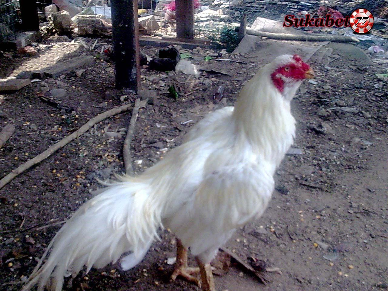 Ayam Bangkok Yang Sangat Dilarang Ikut Bertanding