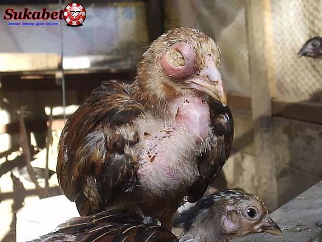 10 Penyakit / Virus Sangat Berbahaya Yang Sering Menyerang Ayam