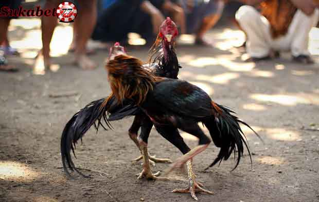 Meningkatkan Stamina Ayam Bangkok Setelah Di Adu