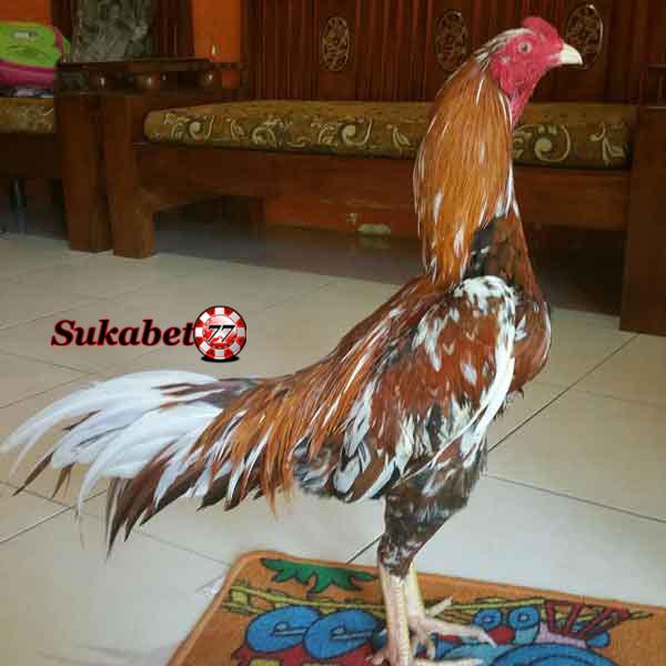 Mengenal Ayam Pakhoe Yang Dikenal Brutal Dan Pukulannya