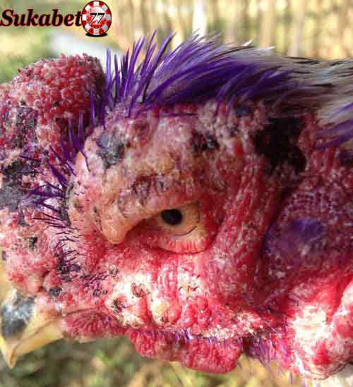 Mengatasi Penyakit Kurap Pada Ayam Aduan