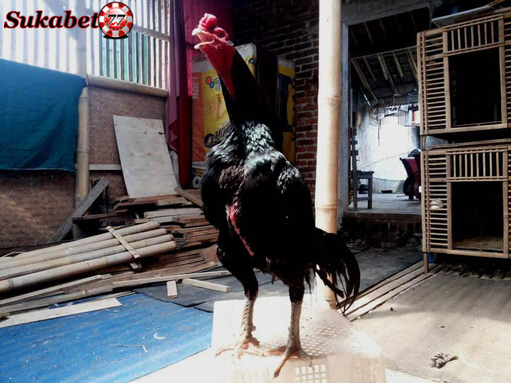 Makna Dari Kata Katuranggan Dalam Sabung Ayam Indonesia