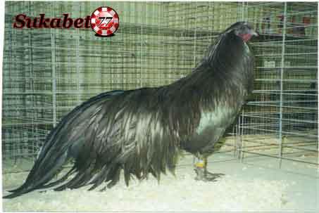 Ayam Sumatera Yang Dikenal Sebagai Ayam Hias Oleh Orang Eropa Dan Amerika