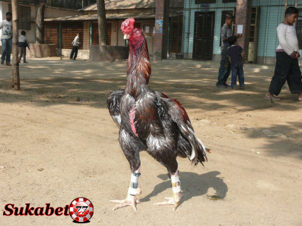 Gaya bertarung Ayam