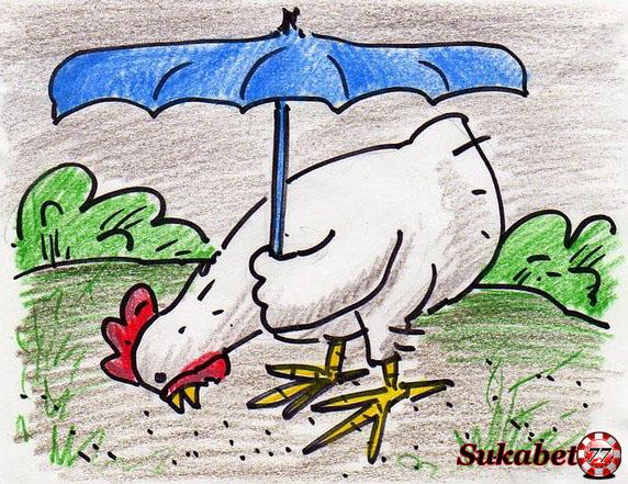 10 Cara Merawat Ayam Aduan Saat Pergantian Musim