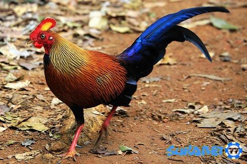 Spesies Ayam Hutan