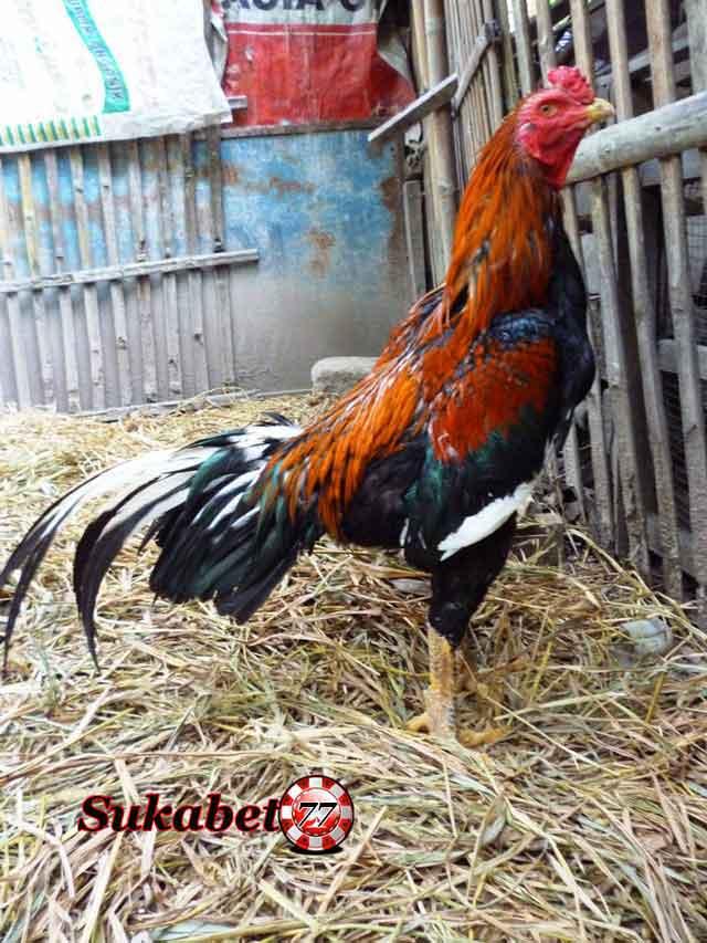 Ayam bangkok Berukuran Kecil