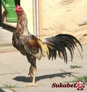 Terbukti Ayam Bangkok Bukan Lagi Ayam Pertarung Sejati