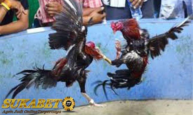 Jenis Pukulan Kepala Yang Mematikan Dari Ayam Bangkok