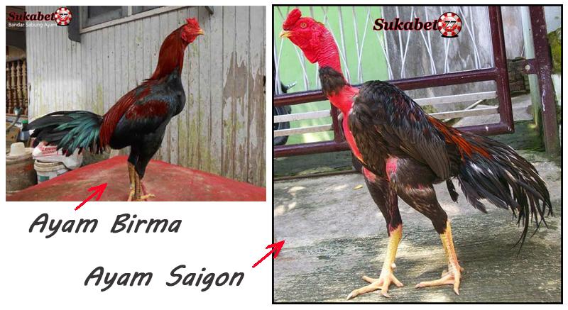 Perbandingan Ayam Birma Dan Ayam Saigon Diarena Sabung Ayam