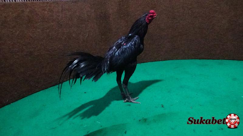 Hadir Lagi 6 Jenis Ayam Aduan Yang Berbahaya