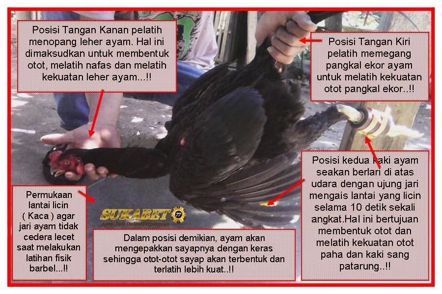 Latihan Khusus Ayam Aduan Agar Siap Siaga